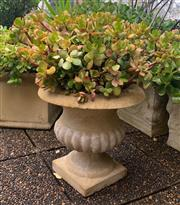 Sale 8902H - Lot 6 - A composite urn planted with an established jade plant, together with another established jade plant in a black painted fibreglass urn