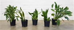 Sale 9174 - Lot 1163 - Collection of indoor plants (h:70cm)