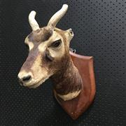 Sale 8758 - Lot 199A - Mounted Taxidermy Example (af)