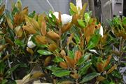 Sale 8054 - Lot 1059 - Group of 4 Magnolia Little Gems - Sacks Not Included