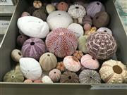 Sale 8871 - Lot 560 - Collection of Seashells including Cone Snails (Conidae), Olives (Olividae), Frog Snails (Bursidae), True Conchs (Strombidae), Murex...