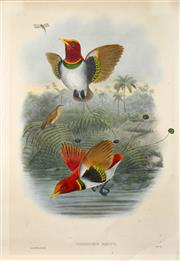 Sale 8545A - Lot 5098 - John Gould (1804 - 1881) - CICINURUS REGIUS: King Bird of Paradise 54.5 x 37cm (sheet size)