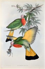 Sale 8545A - Lot 5097 - John Gould (1804 - 1881) - NYCTIORNIS AMICTUS: Red-throated Nyctiornis 54.5 x 37cm (sheet size)