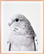 Sale 8342A - Lot 145 - Artist Unknown - Black and White Budgerigar