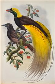 Sale 8301 - Lot 587 - John Gould (1804 - 1881) - PARADISEA APODA - The Greater Bird of Paradise 54.5 x 37cm (sheet size)
