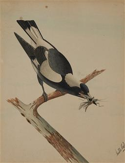 Sale 9178 - Lot 577 - NEVILLE CAYLEY SNR (1853 - 1903) Magpie with Grasshopper watercolour 52 x 40.5 cm (frame: 62 x 51 x 3 cm) signed lower right