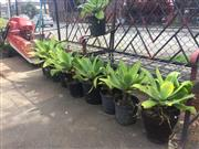 Sale 8839 - Lot 1375 - Collection of Ten Small Agaves