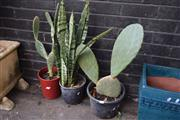 Sale 8550 - Lot 1375 - Pair of Potted Cacti and Mother-in-Laws Tongue