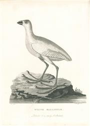 Sale 9037A - Lot 5006 - Peter Mazell (1733 - 1808) - White Gallinule (The Lord Howe Swamphen, Extinct), 1789 copper engraving
