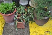Sale 8338 - Lot 1376 - Collection of Four Plants incl. Rosemary, Mint