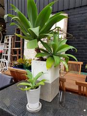 Sale 8740 - Lot 1245 - Modern Planters with Established Plants x 2