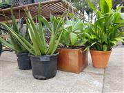 Sale 8740 - Lot 1226 - Collection of Potted Plants