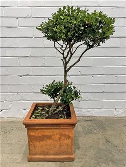 Sale 9151 - Lot 1440 - Square form terracotta planter with topiary buxus (h87 x d32cm)
