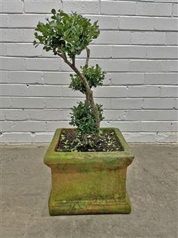 Sale 9151 - Lot 1463 - Square form terracotta planter containing topiary buxus (h70 x d34cm)