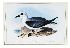 Sale 3713 - Lot 42 - John Gould (1804 - 1881) - Procellaria Lessonii (White-headed Petrel) A 564.