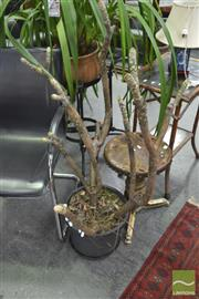 Sale 8406 - Lot 1190 - Potted Frangipani