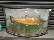 Sale 8567 - Lot 735 - Taxidermy Trout Diorama (damaged glass)