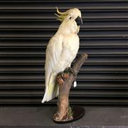 Sale 8758 - Lot 60C - Taxidermy White Cockatoo on Stand