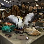 Sale 8758 - Lot 229A - Taxidermy Spur-Wing Plover