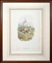 Sale 8325A - Lot 56 - John Gould (1804 - 1881) - CUCULUS CANORUS: Young ejecting its nestling companions 51 x 35cm