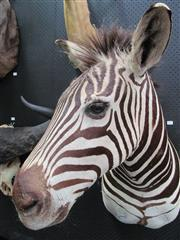 Sale 8431A - Lot 657 - Taxidermy Zebra Head, shoulder mount