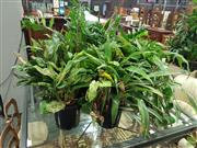 Sale 8601 - Lot 1060 - Large Collection of Small Indoor Plants