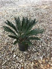Sale 8772A - Lot 75 - A Well Establish Cycad Plant Size 75cm H Including Pot