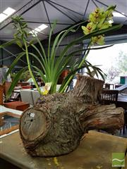 Sale 8550 - Lot 1421 - Hollow Log with 2 Spike Cymbidium St Ives