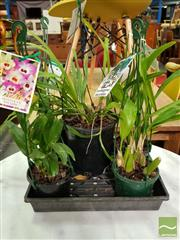 Sale 8550 - Lot 1445 - Tray of Mixed Orchids