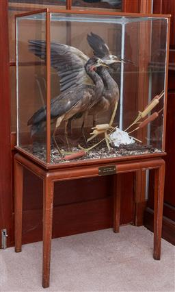 Sale 9103H - Lot 1 - A taxidermy pair of white faced heron in glazed wooden display case raised on stand, total Height 115cm x Width 59cm x Depth 38cm