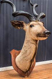Sale 8287A - Lot 36 - An imposing African longhorn mounted taxidermy specimen, circa 1960's. Some minor losses to ears. Very rare & collectible find, 155c..