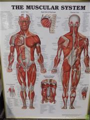 Sale 8578T - Lot 2091 - Muscular System Poster