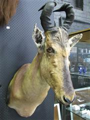 Sale 8107A - Lot 1558A - Taxidermy Red Hartebeest, shoulder mount