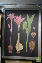 Sale 8525 - Lot 2032 - Artist Unknown - Crocus Botanical 124 x 94cm (frame size)