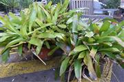 Sale 8550 - Lot 1357 - Large Bromeliad and Smaller Example (2)