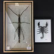 Sale 8567 - Lot 624 - Scorpion & Phasmatidae