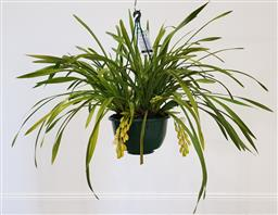 Sale 9188 - Lot 1533 - White 9 spike cymbidium orchid in hanging basket (h:68cm)