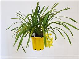 Sale 9188 - Lot 1257 - Yellow 12 spike cymbidium orchid in hanging basket (h:67cm)