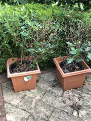 Sale 8774A - Lot 400 - Two hedging plants in plastic pots