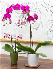 Sale 8838H - Lot 17 - Two potted orchids in purple
