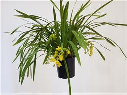 Sale 9188 - Lot 1433 - Yellow 10 spike cymbidium orchid in hanging basket (h:71cm)