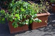 Sale 8550 - Lot 1319 - Mint and Geranium in Terracotta Planters (2)
