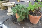 Sale 8550 - Lot 1332 - A Rosemary and Daisy Plants in Terracotta Planters Together with Concrete Birdbath (3)