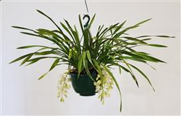 Sale 9188 - Lot 1430 - White 12 spike cymbidium orchid in hanging basket (h:81cm)