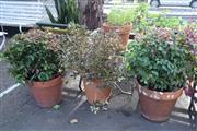 Sale 8550 - Lot 1320 - Pair of Dwarf Nandinas in Terracotta Planters Together with a Flowering Alyssum and Azalea (4)