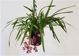 Sale 9188 - Lot 1258 - Pink 4 spike cymbidium orchid in hanging basket (h:77cm)