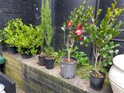 Sale 8740 - Lot 1257 - Collection of Potted Plants incl Gardenia, Camelia and Thin Pine (6)