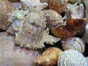 Sale 8331A - Lot 563 - Assortment of Sea Shells