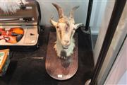 Sale 8311 - Lot 88 - Taxidermy Wall Mounted Goat (AF)