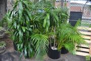 Sale 8338 - Lot 1401 - Large Collection Of Indoor Plants